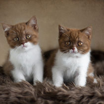 Britisch Kurzhaar Kittens / 2 von Heidi Bollich