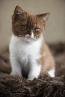 Britisch Kurzhaar Kitten / 51 von Heidi Bollich