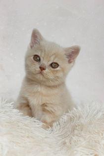 Dsc-6766-dot-t-bkh-kitten1-10-15