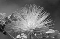 Calliandra Flower by cinema4design