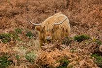 Longhorn on Dartmoor von David Hare