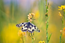 Marbled White Butterfly von Vicki Field