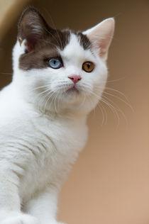 Britisch Kurzhaar Kitten / 59 by Heidi Bollich