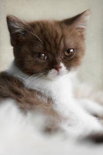 Britisch Kurzhaar Kitten / 62 von Heidi Bollich