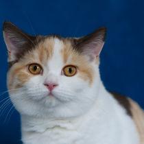 Britisch Kurzhaar Kitten / 63 by Heidi Bollich