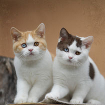 Britisch Kurzhaar Kittens / 4 by Heidi Bollich