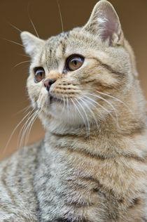 Britisch Kurzhaar Kitten / 58 by Heidi Bollich