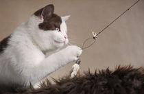 Britisch Kurzhaar Kitten / 53 von Heidi Bollich