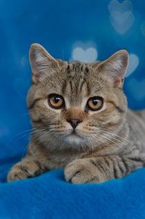 Britisch Kurzhaar Kitten / 64 von Heidi Bollich