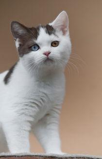 Britisch Kurzhaar Kitten / 57 by Heidi Bollich