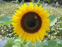 Sonnenblume von Angelika  Schütgens