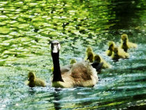 Fa-goosefamily