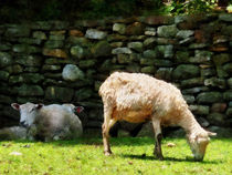 Fa-sheepgrazing