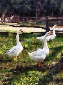 Three White Geese by Susan Savad