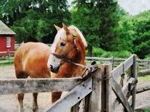 Fat-horseinpaddock