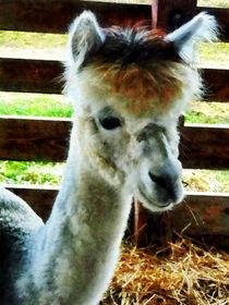 Alpaca Closeup von Susan Savad