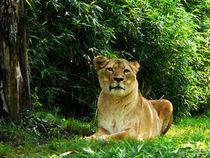 Lady Lion Relaxing von Susan Savad