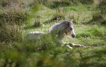 Wild Gower pony by Leighton Collins