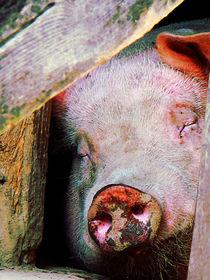 Pig Sleeping von Susan Savad