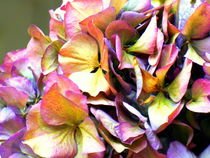 hortensien im herbst by hedy beith