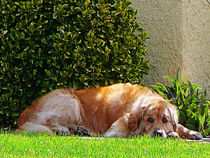 Dog Relaxing by Susan Savad