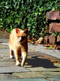 Orange Tabby Taking a Walk by Susan Savad