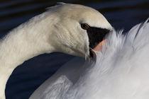 The Shy Swan by David Pyatt