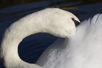 Swan Shyness by David Pyatt