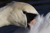 The Watchful Swan von David Pyatt