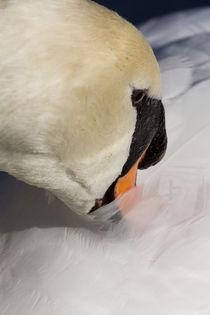 The Quiet Swan von David Pyatt