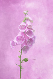 Fingerhut auf rosa Hintergrund by darlya