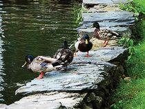 Ducks on Ledge by Pond by Susan Savad