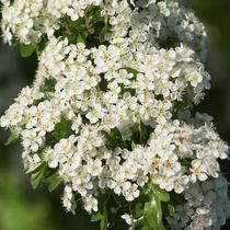 Blühender Weißdorn von Sabine Radtke
