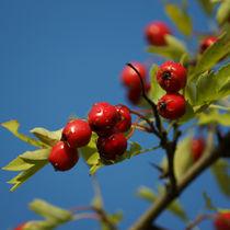 Die roten Früchte des Weißdorn von Sabine Radtke