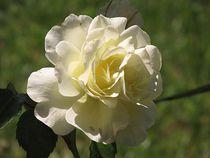 weiße Rose von Angelika  Schütgens