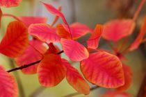 Autumn Leaves Herbstfarben III by lisebonne