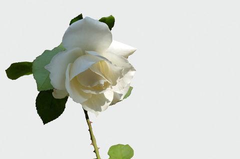 A-white-rose-bun