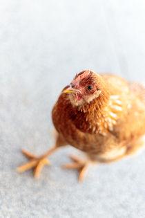 Freilaufendes Huhn von mroppx