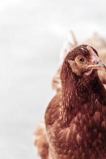 Freilaufendes Huhn, Perspektive von mroppx