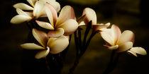 Leelawadee in traurig (Plumeria) von mroppx