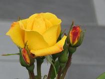 Rosen  von Andrey Heinz