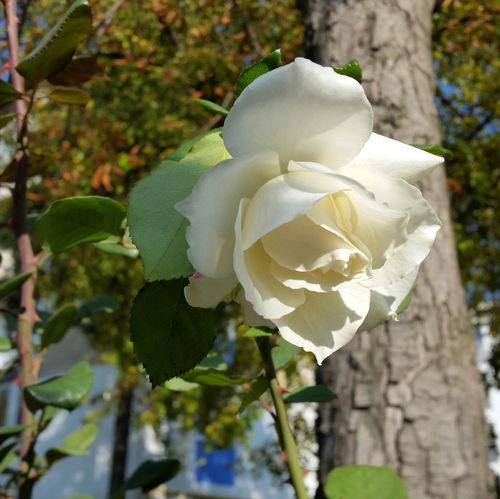Rose-near-tree-bun