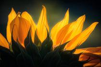 Close-up einer Sonnenblume by mroppx