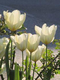 weiße Tulpen von Angelika  Schütgens