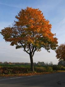Ahorn im Herbstkleid von Angelika  Schütgens