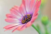 Beautiful Osteospermum von Brian  Fry
