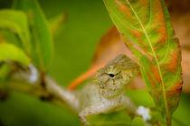 Junger Leguan in Asien von mroppx