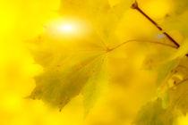 Goldene Herbstblätter 3 von fraenks