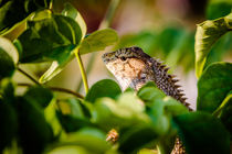 Neugieriger Leguan in Thailand von mroppx