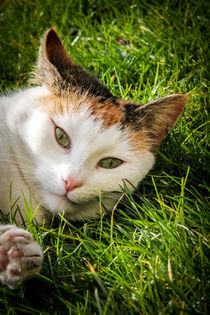 Hauskatze beim Sonnenbad - close-up by mroppx